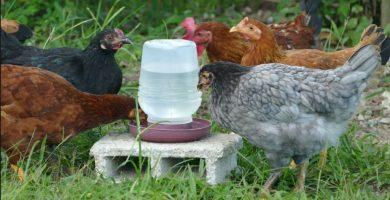 bebederos para gallinas